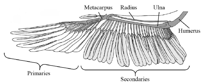 Figure 7. Overview of the Brown Pelican wing structure presented by Simons et al. Labels have been added for clarity.